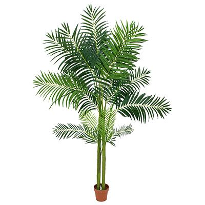 Palma Areca 240 cm Wynajem Mebli Magnetic Group trojmiasto Drzewka rosliny doniczkowe